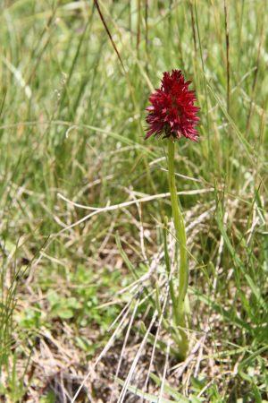 Nigritella-nigra