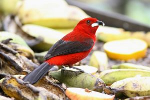 brazilian-tanager