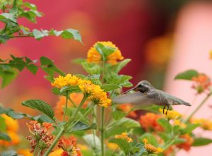 costas-hummingbird